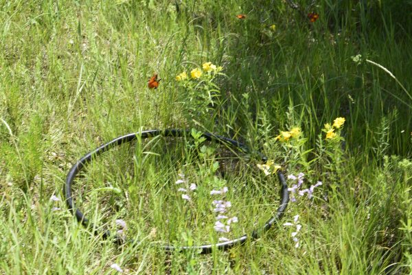 A black hoop sits on the ground, with red, yellow, and white wildflowers growing within and without of the circle.